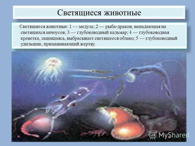 Светящиеся животные Светящиеся животные: 1 медуза; 2 рыба-дракон, нападающая на светящихся анчоусов; 3 глубоководный кальмар; 4 глубоководная креветка, защищаясь, выбрасывает светящееся облако; 5 глубоководный удильщик, приманивающий жертву.