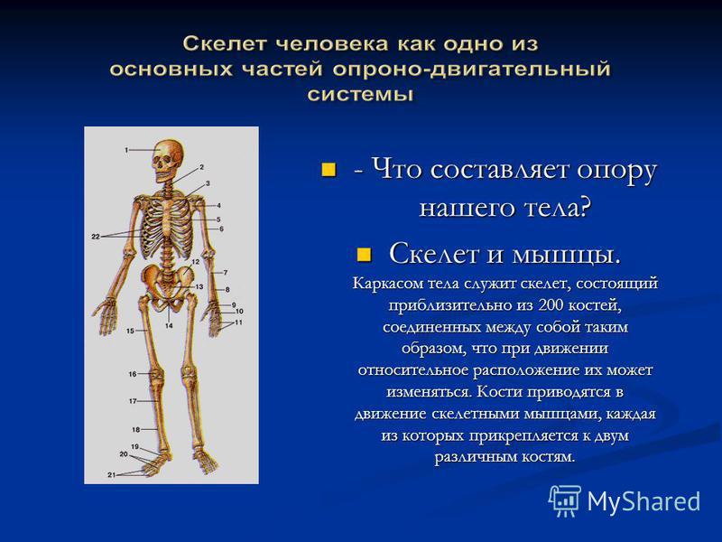 - Что составляет опору нашего тела? - Что составляет опору нашего тела? Скелет и мышцы. Каркасом тела служит скелет, состоящий приблизительно из 200 костей, соединенных между собой таким образом, что при движении относительное расположение их может и