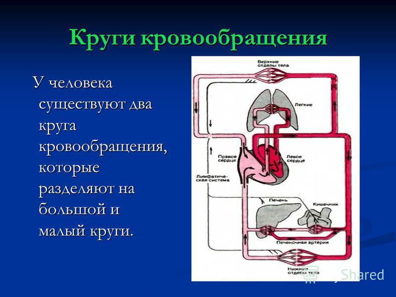 Круги кровообращения У человека существуют два круга кровообращения, которые разделяют на большой и малый круги. У человека существуют два круга кровообращения, которые разделяют на большой и малый круги.