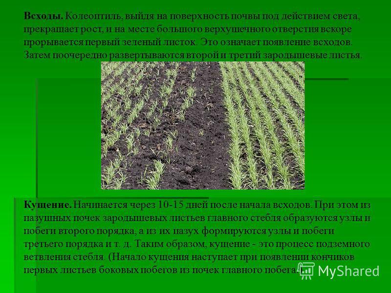 Всходы. Колеоптиль, выйдя на поверхность почвы под действием света, прекращает рост, и на месте большого верхушечного отверстия вскоре прорывается первый зеленый листок. Это означает появление всходов. Затем поочередно развертываются второй и третий