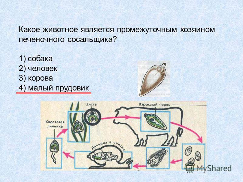 Какое животное является промежуточным хозяином печеночного сосальщика? 1)собака 2)человек 3) корова 4) малый прудовик