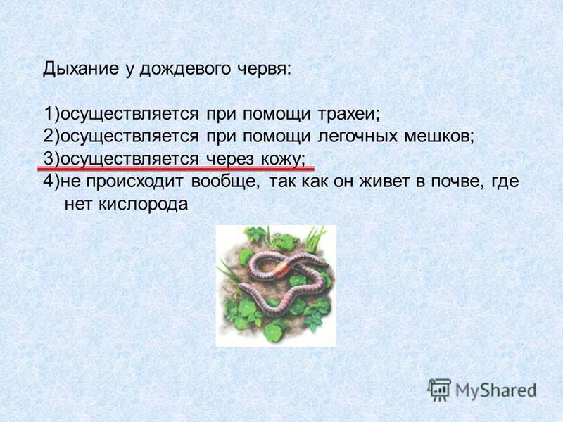 Дыхание у дождевого червя: 1)осуществляется при помощи трахеи; 2)осуществляется при помощи легочных мешков; 3)осуществляется через кожу; 4)не происходит вообще, так как он живет в почве, где нет кислорода