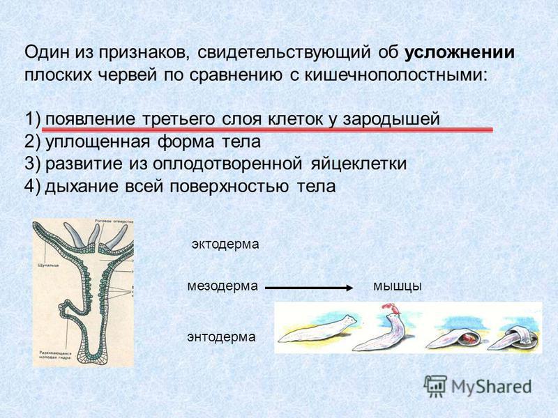 Один из признаков, свидетельствующий об усложнении плоских червей по сравнению с кишечнополостными: 1)появление третьего слоя клеток у зародышей 2)уплощенная форма тела 3)развитие из оплодотворенной яйцеклетки 4)дыхание всей поверхностью тела эктодер