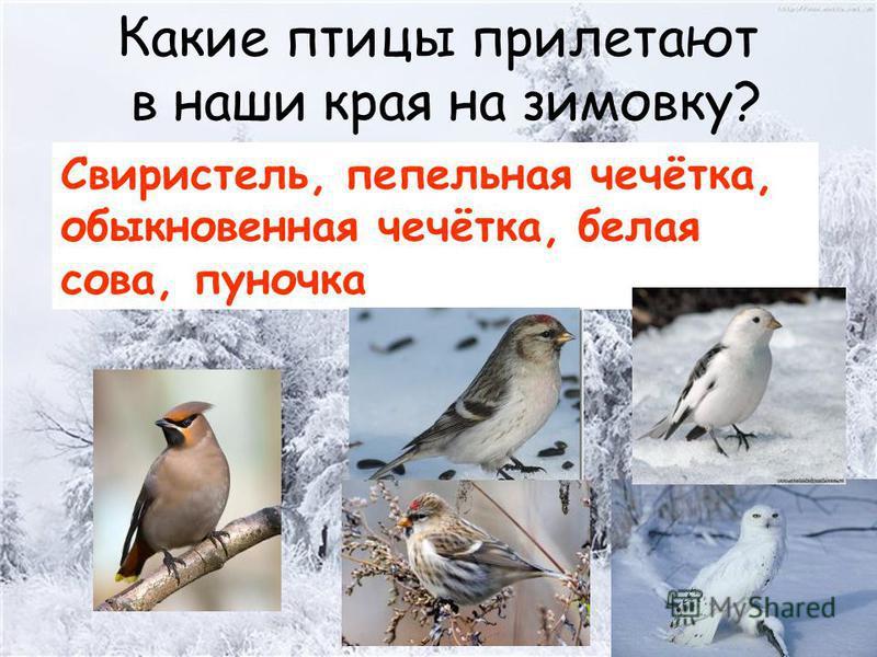 Какие птицы прилетают в наши края на зимовку? Свиристель, пепельная чечётка, обыкновенная чечётка, белая сова, пуночка