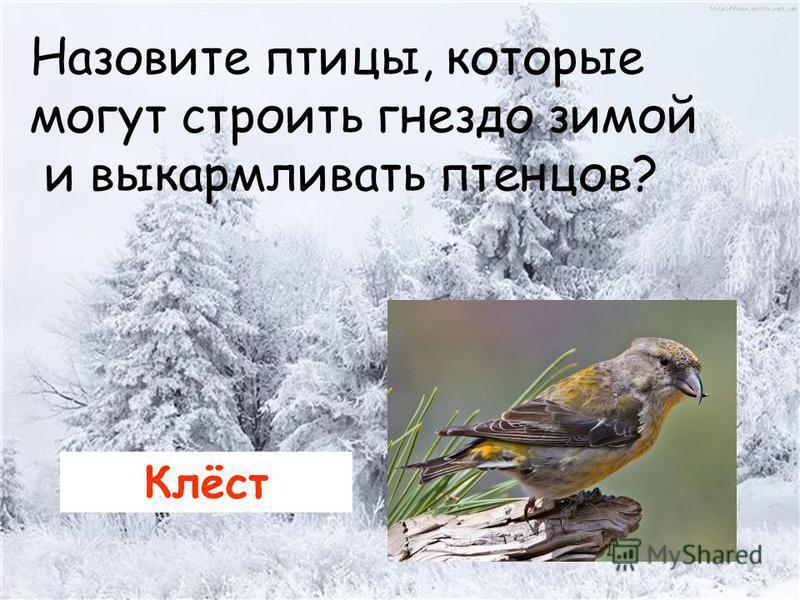 Назовите птицы, которые могут строить гнездо зимой и выкармливать птенцов? Клёст