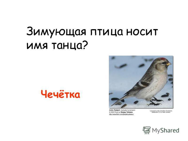 Зимующая птица носит имя танца? Чечётка