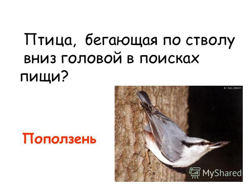 Птица, бегающая по стволу вниз головой в поисках пищи? Поползень