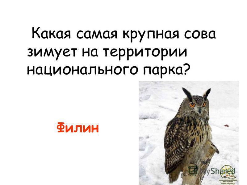 Какая самая крупная сова зимует на территории национального парка? Филин