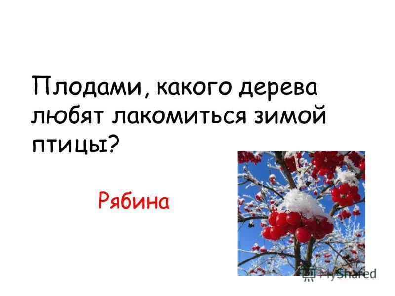 Плодами, какого дерева любят лакомиться зимой птицы? Рябина