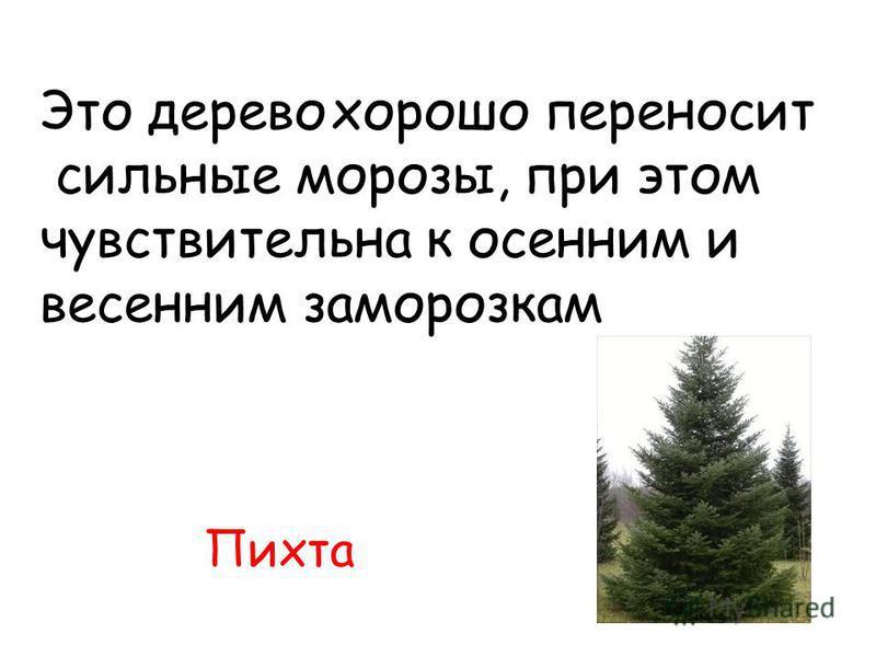 Пихта Это дерево хорошо переносит сильные морозы, при этом чувствительна к осенним и весенним заморозкам