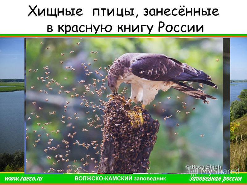 Хищные птицы, занесённые в красную книгу России