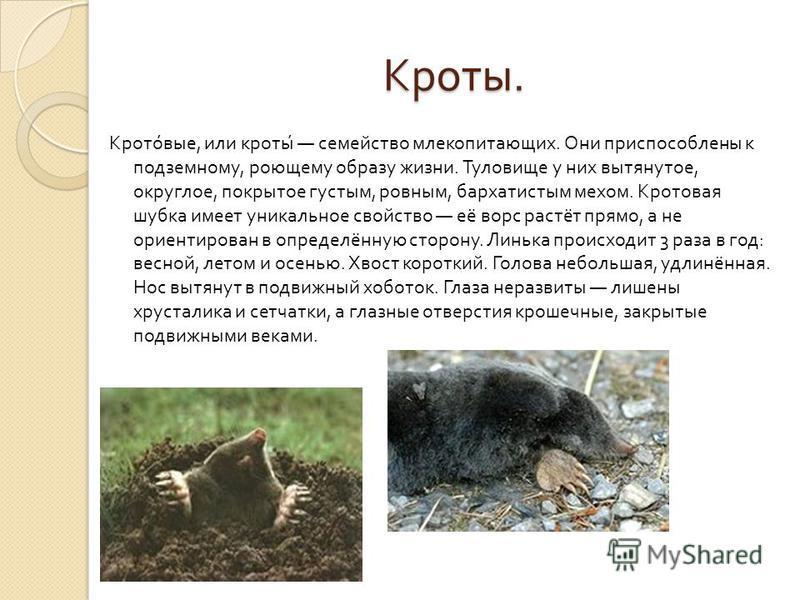 Кроты. Кроты. Кротовые, или кроты семейство млекопитающих. Они приспособлены к подземному, роющему образу жизни. Туловище у них вытянутое, округлое, покрытое густым, ровным, бархатистым мехом. Кротовая шубка имеет уникальное свойство её ворс растёт п