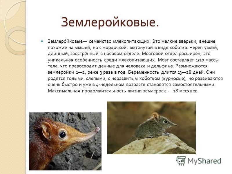 Землеройковые. Землеройковые. Землеройковые семейство млекопитающих. Это мелкие зверьки, внешне похожие на мышей, но с мордочкой, вытянутой в виде хоботка. Череп узкий, длинный, заострённый в носовом отделе. Мозговой отдел расширен, это уникальная ос