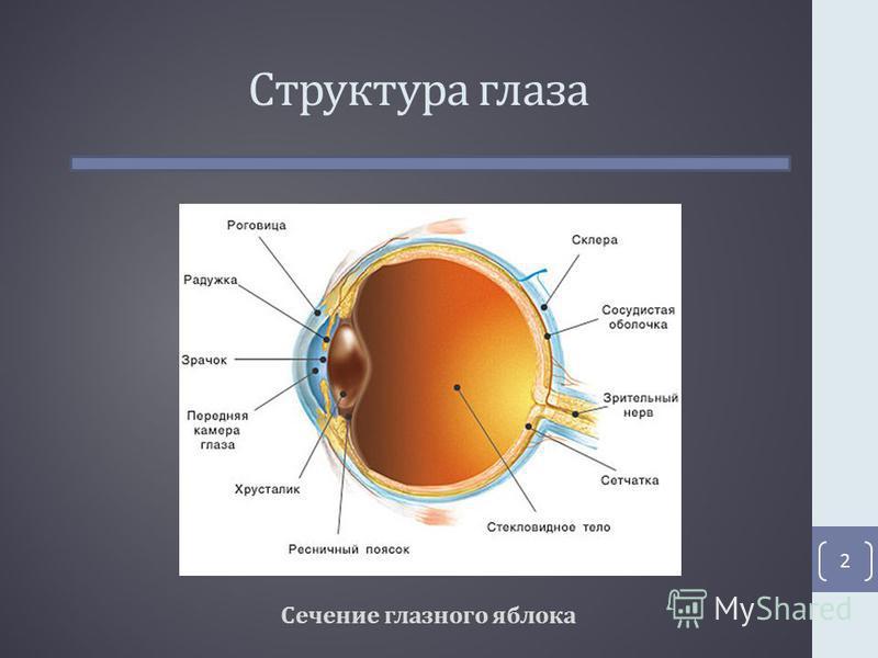 Структура глаза Сечение глазного яблока 2