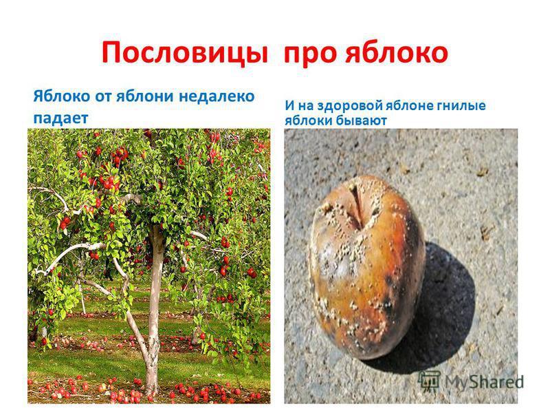 Пословицы про яблоко Яблоко от яблони недалеко падает И на здоровой яблоне гнилые яблоки бывают