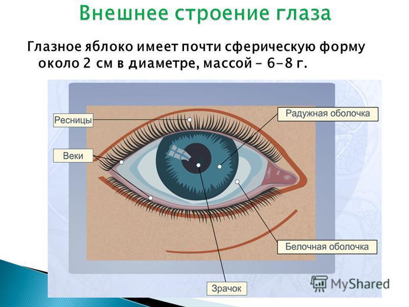 Глазное яблоко имеет почти сферическую форму около 2 см в диаметре, массой – 6-8 г.