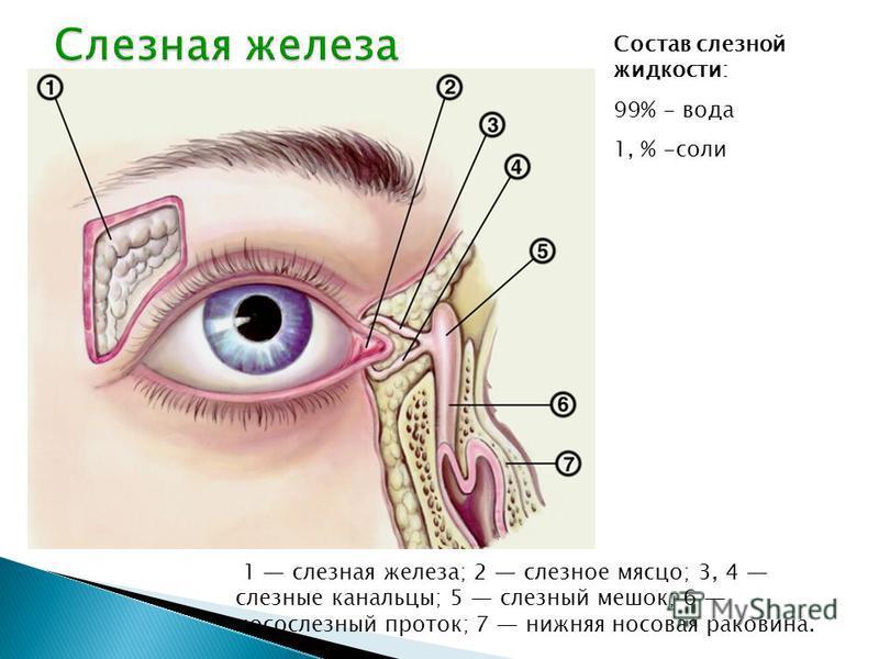 вв 1 слезная железа; 2 слезное мясцо; 3, 4 слезные канальцы; 5 слезный мешок; 6 носослезный проток; 7 нижняя носовая раковина. Состав слезной жидкости: 99% - вода 1, % -соли