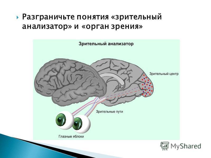 Разграничьте понятия «зрительный анализатор» и «орган зрения»