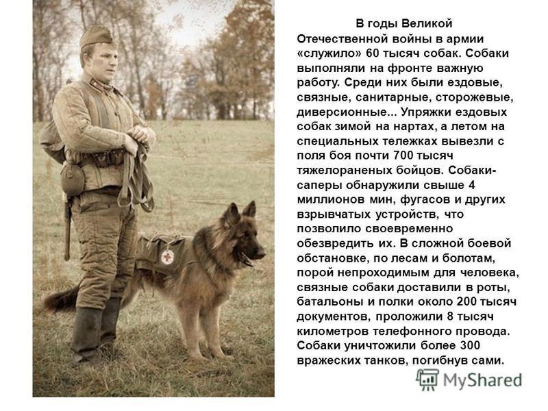 В годы Великой Отечественной войны в армии «служило» 60 тысяч собак. Собаки выполняли на фронте важную работу. Среди них были ездовые, связные, санитарные, сторожевые, диверсионные... Упряжки ездовых собак зимой на нартах, а летом на специальных теле