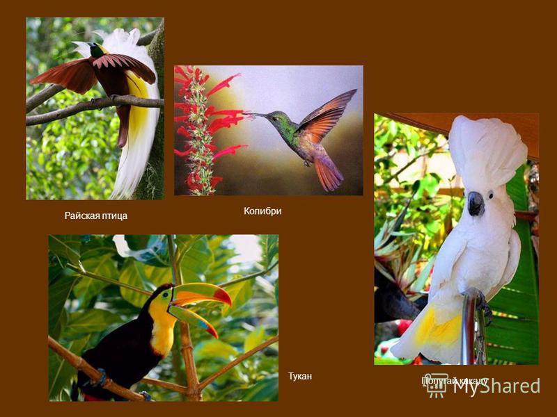 Тукан Райская птица Попугай какаду Колибри