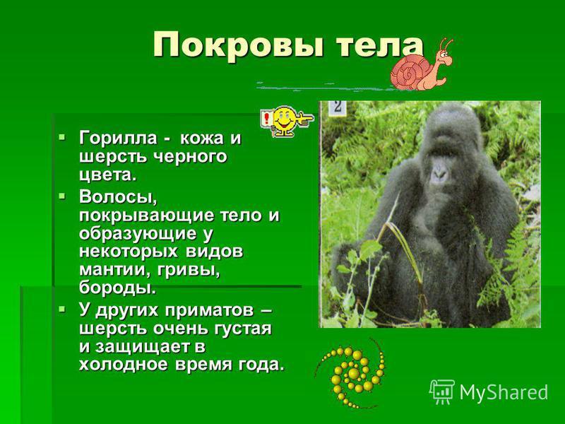 Покровы тела Горилла - кожа и шерсть черного цвета. Волосы, покрывающие тело и образующие у некоторых видов мантии, гривы, бороды. У других приматов – шерсть очень густая и защищает в холодное время года.