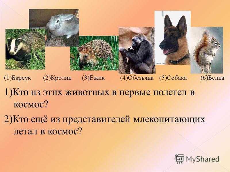 (1)Барсук (2)Кролик (3)Ёжик (4)Обезьяна (5)Собака (6)Белка 1)Кто из этих животных в первые полетел в космос? 2)Кто ещё из представителей млекопитающих летал в космос?