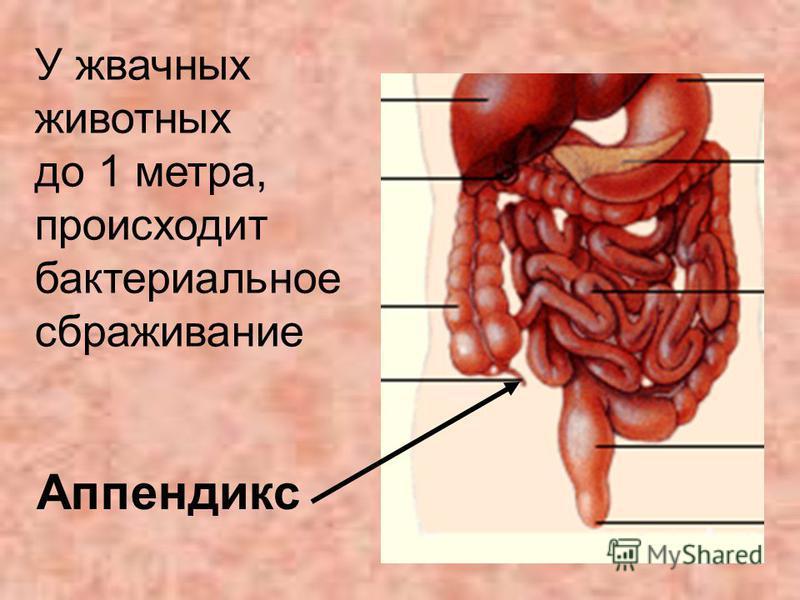 Аппендикс У жвачных животных до 1 метра, происходит бактериальное сбраживание