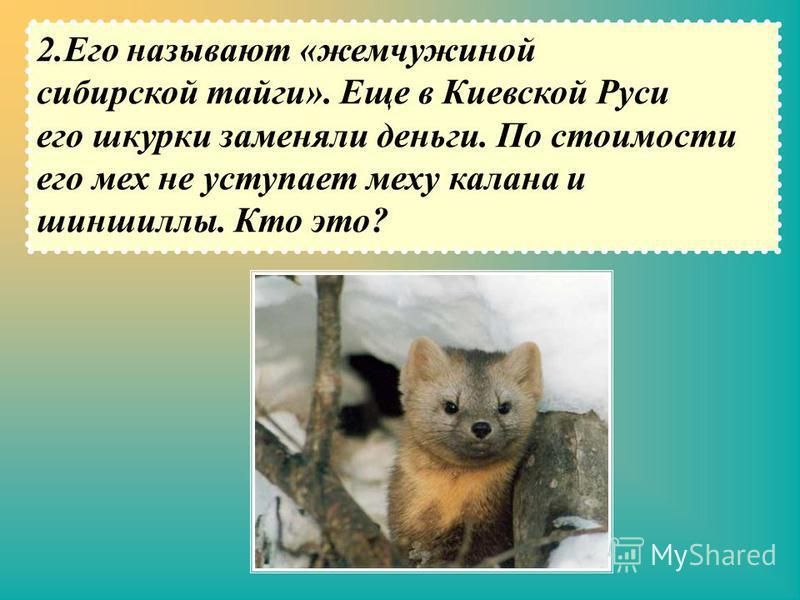 2. Его называют «жемчужиной сибирской тайги». Еще в Киевской Руси его шкурки заменяли деньги. По стоимости его мех не уступает меху калана и шиншиллы. Кто это?