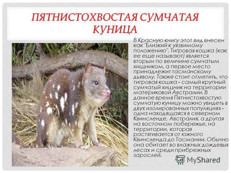 СУМАТРАНСКИЙ НОСОРОГ Это млекопитающее из рода суматранских носорогов записано в Международную Красную книгу как