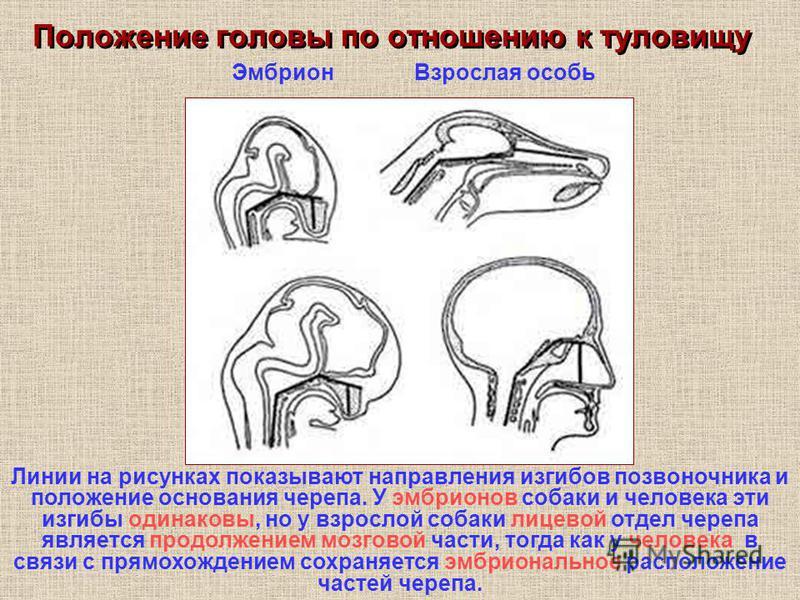 Положение головы по отношению к туловищу Эмбрион Взрослая особь Линии на рисунках показывают направления изгибов позвоночника и положение основания черепа. У эмбрионов собаки и человека эти изгибы одинаковы, но у взрослой собаки лицевой отдел черепа