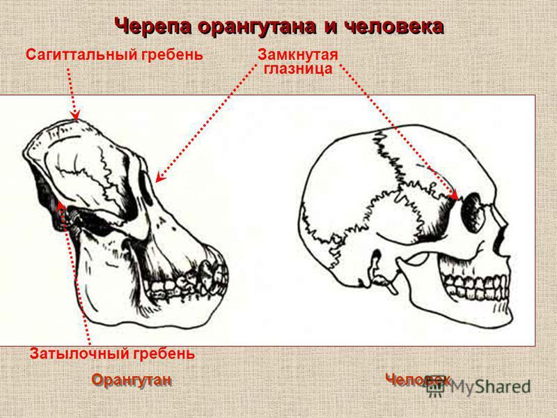 Черепа орангутана и человека Орангутан Человек Замкнутая глазница Сагиттальный гребень Затылочный гребень