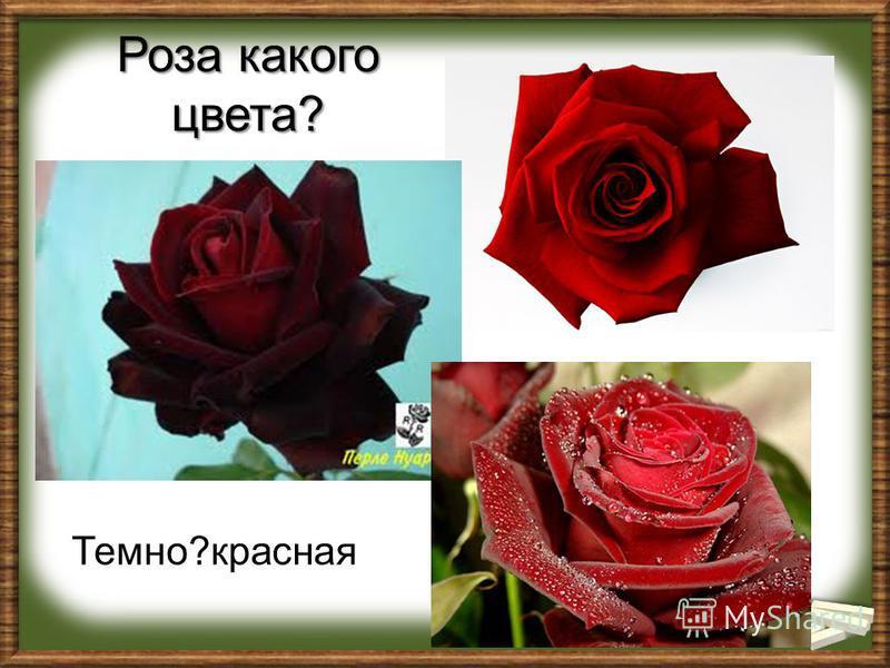 Роза какого цвета? Темно?красная