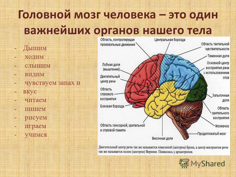 Головной мозг человека – это один важнейших органов нашего тела -Дышим - ходим - слышим - видим - чувствуем запах и -вкус - читаем - пишем - рисуем - играем - учимся