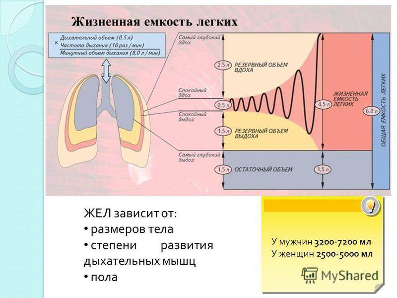 ЖЕЛ зависит от: размеров тела степени развития дыхательных мышц пола У мужчин 3200-7200 мл У женщин 2500-5000 мл