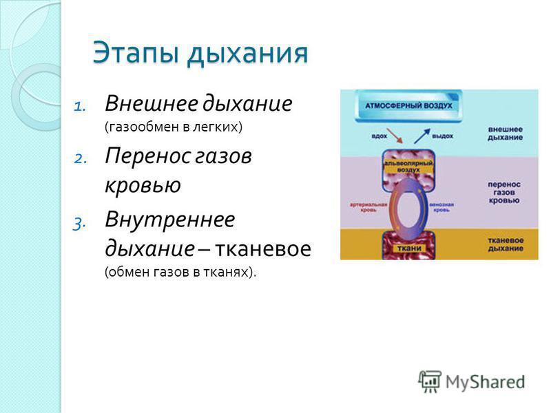 Этапы дыхания 1. Внешнее дыхание ( газообмен в легких ) 2. Перенос газов кровью 3. Внутреннее дыхание – тканевое ( обмен газов в тканях ).
