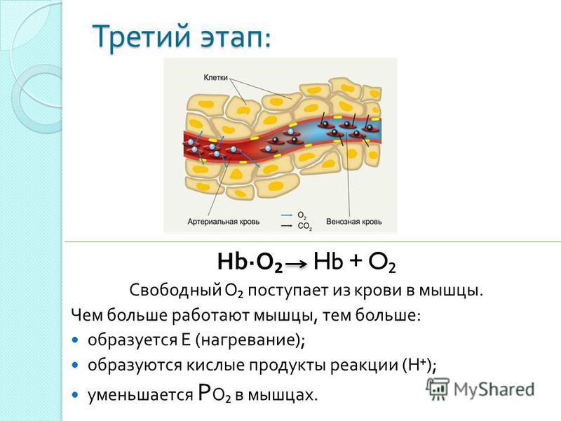 Третий этап : HbO Hb + O Свободный О поступает из крови в мышцы. Чем больше работают мышцы, тем больше : образуется Е ( нагревание ); образуются кислые продукты реакции ( Н ); уменьшается Р О в мышцах.