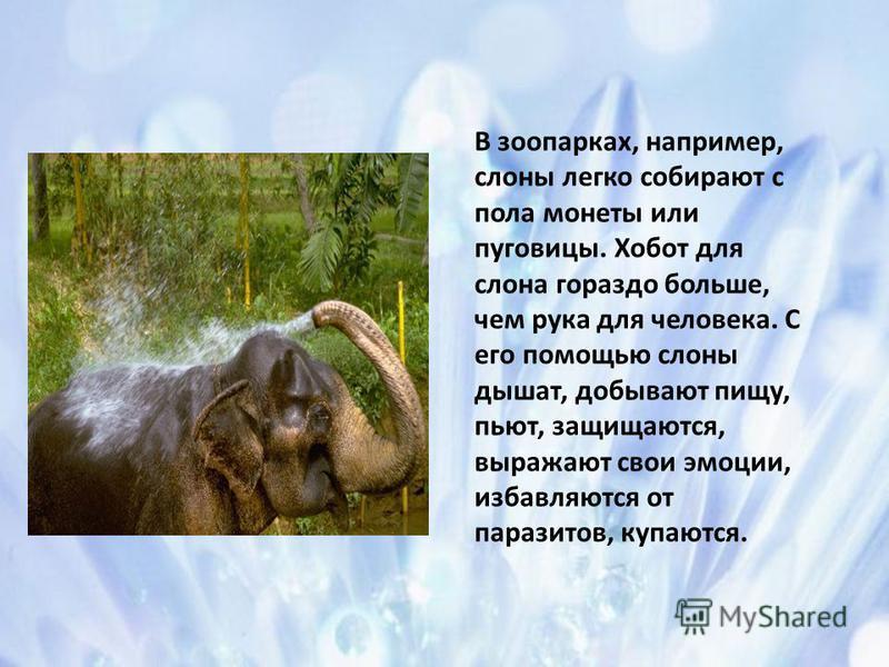 В зоопарках, например, слоны легко собирают с пола монеты или пуговицы. Хобот для слона гораздо больше, чем рука для человека. С его помощью слоны дышат, добывают пищу, пьют, защищаются, выражают свои эмоции, избавляются от паразитов, купаются.