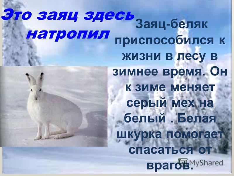 Это заяц здесь натропил Заяц-беляк приспособился к жизни в лесу в зимнее время. Он к зиме меняет серый мех на белый. Белая шкурка помогает спасаться от врагов.