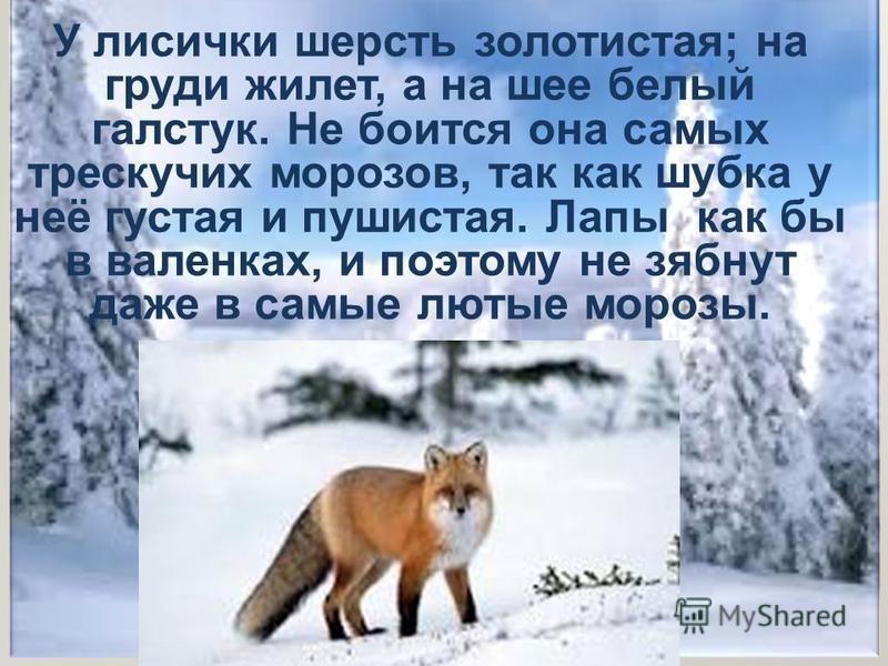 У лисички шерсть золотистая; на груди жилет, а на шее белый галстук. Не боится она самых трескучих морозов, так как шубка у неё густая и пушистая. Лапы как бы в валенках, и поэтому не зябнут даже в самые лютые морозы.