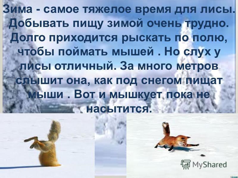 Зима - самое тяжелое время для лисы. Добывать пищу зимой очень трудно. Долго приходится рыскать по полю, чтобы поймать мышей. Но слух у лисы отличный. За много метров слышит она, как под снегом пищат мыши. Вот и мышкует пока не насытится.