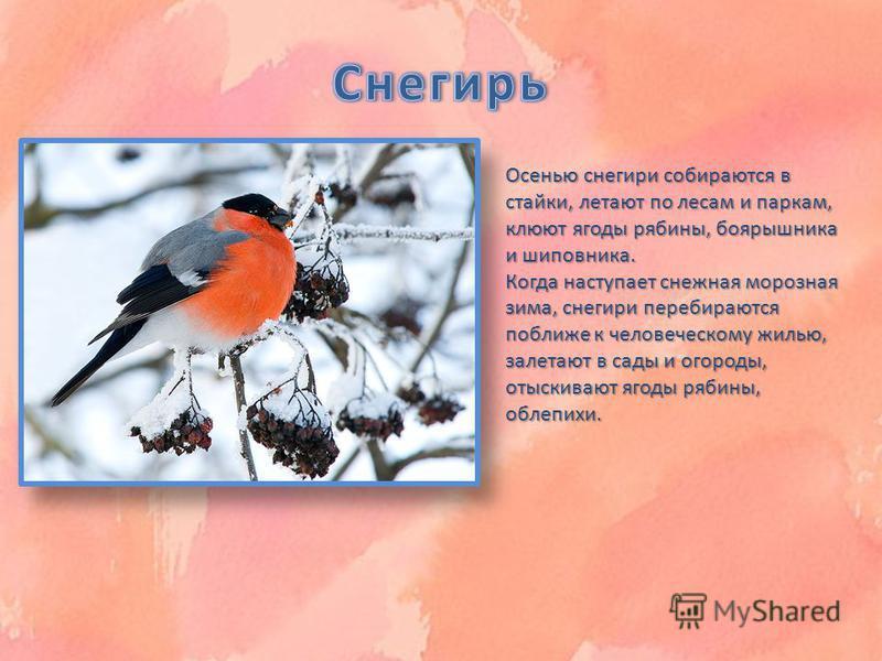 Осенью снегири собираются в стайки, летают по лесам и паркам, клюют ягоды рябины, боярышника и шиповника. Когда наступает снежная морозная зима, снегири перебираются поближе к человеческому жилью, залетают в сады и огороды, отыскивают ягоды рябины, о