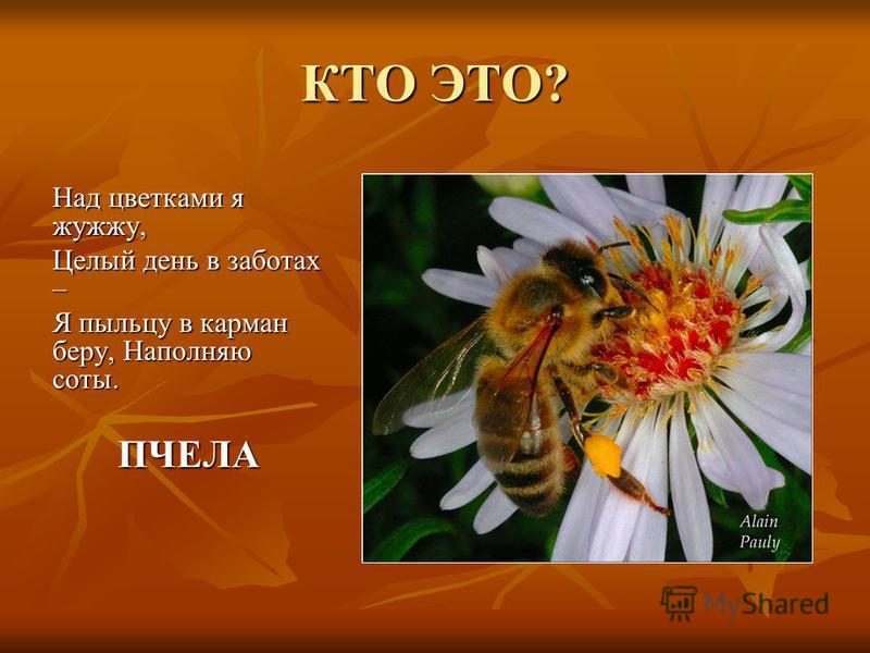 КТО ЭТО? Над цветками я жужжу, Целый день в заботах – Я пыльцу в карман беру, Наполняю соты. ПЧЕЛА