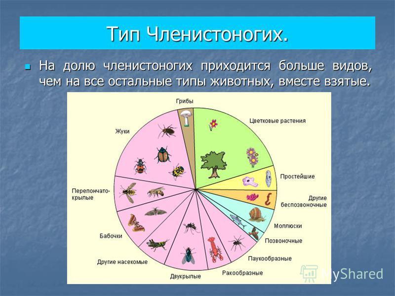 Тип Членистоногих. На долю членистоногих приходится больше видов, чем на все остальные типы животных, вместе взятые. На долю членистоногих приходится больше видов, чем на все остальные типы животных, вместе взятые.