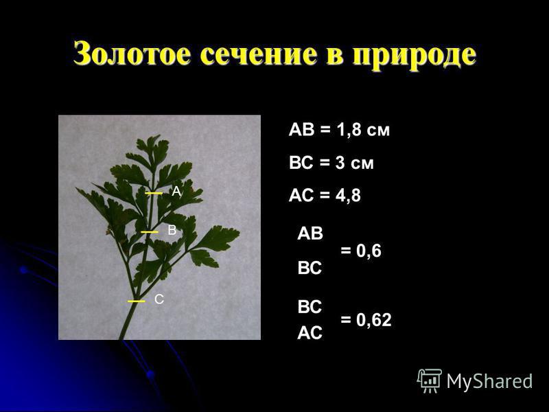 Золотое сечение в природе А В С АВ = 1,8 см ВС = 3 см АС = 4,8 АВ ВС = 0,6 ВС АС = 0,62