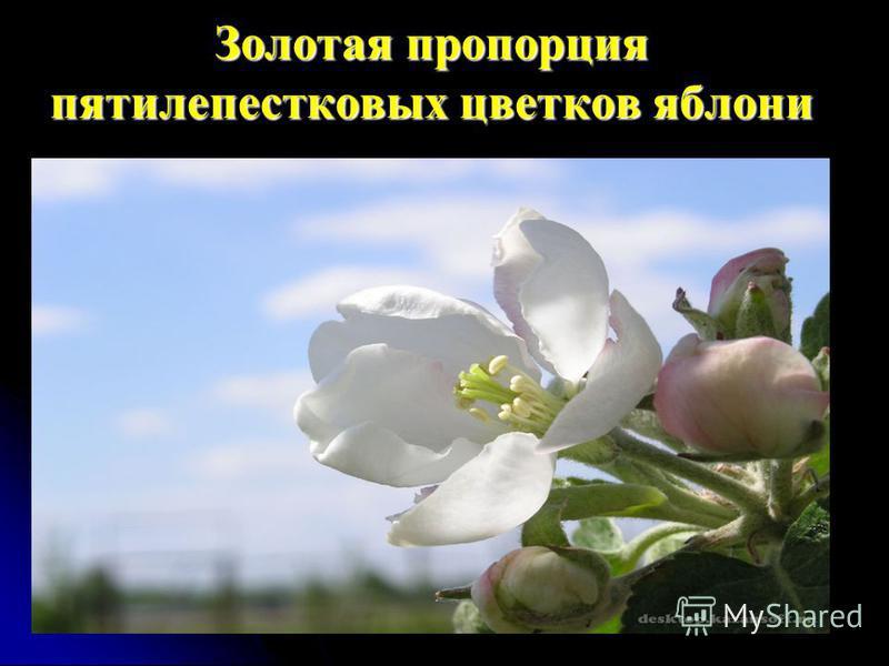 Золотая пропорция пятилепестковых цветков яблони