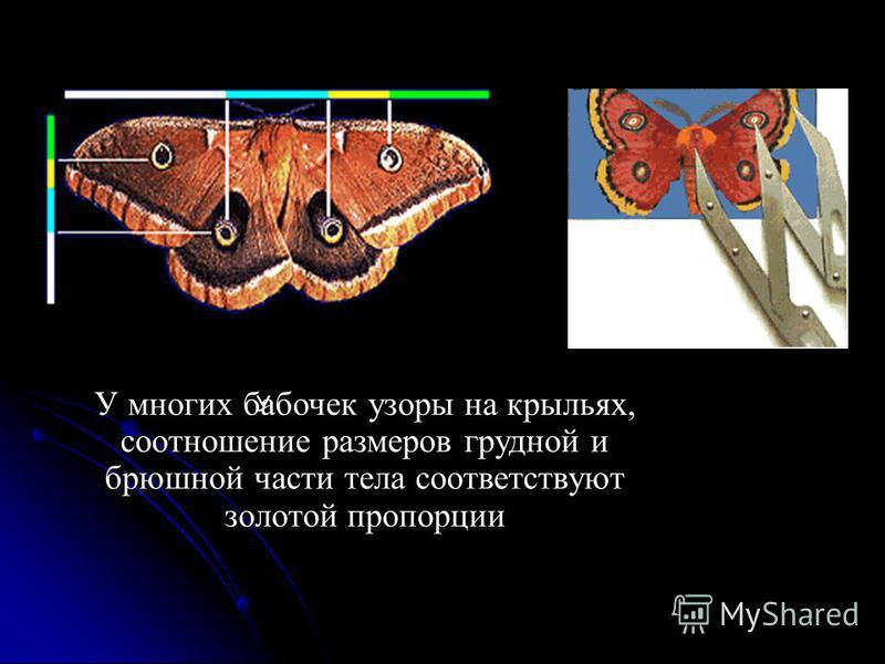У У многих бабочек узоры на крыльях, соотношение размеров грудной и брюшной части тела соответствуют золотой пропорции