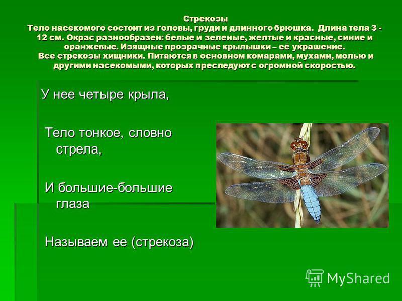 Стрекозы Тело насекомого состоит из головы, груди и длинного брюшка. Длина тела 3 - 12 см. Окрас разнообразен: белые и зеленые, желтые и красные, синие и оранжевые. Изящные прозрачные крылышки – её украшение. Все стрекозы хищники. Питаются в основном