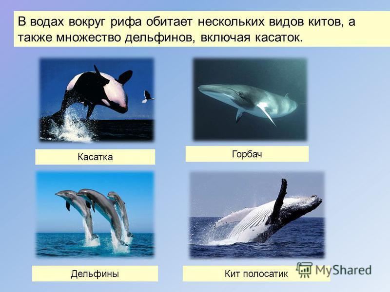 Горбач Касатка В водах вокруг рифа обитает нескольких видов китов, а также множество дельфинов, включая касаток. Дельфины Кит полосатик