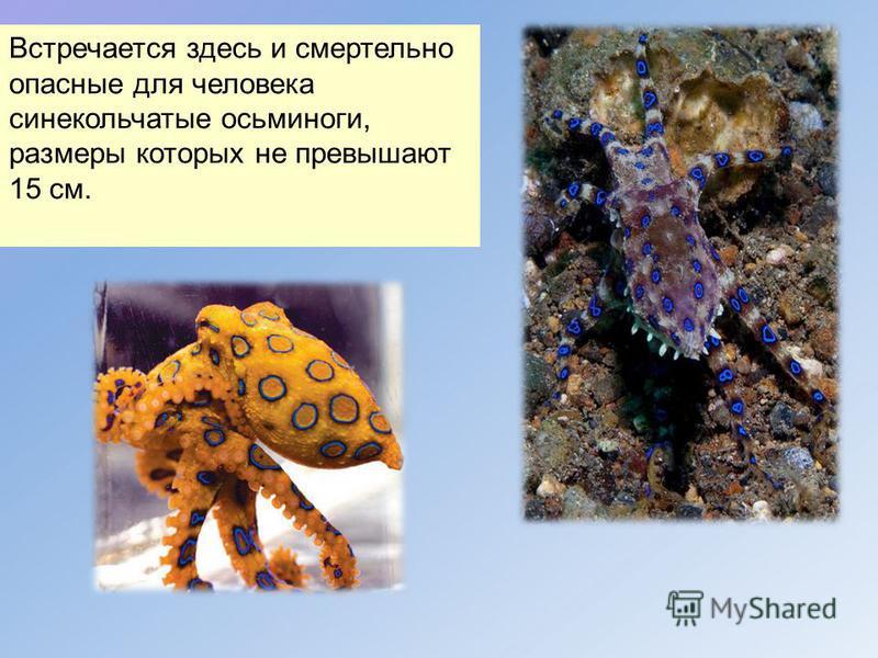 Встречается здесь и смертельно опасные для человека сине кольчатые осьминоги, размеры которых не превышают 15 см.