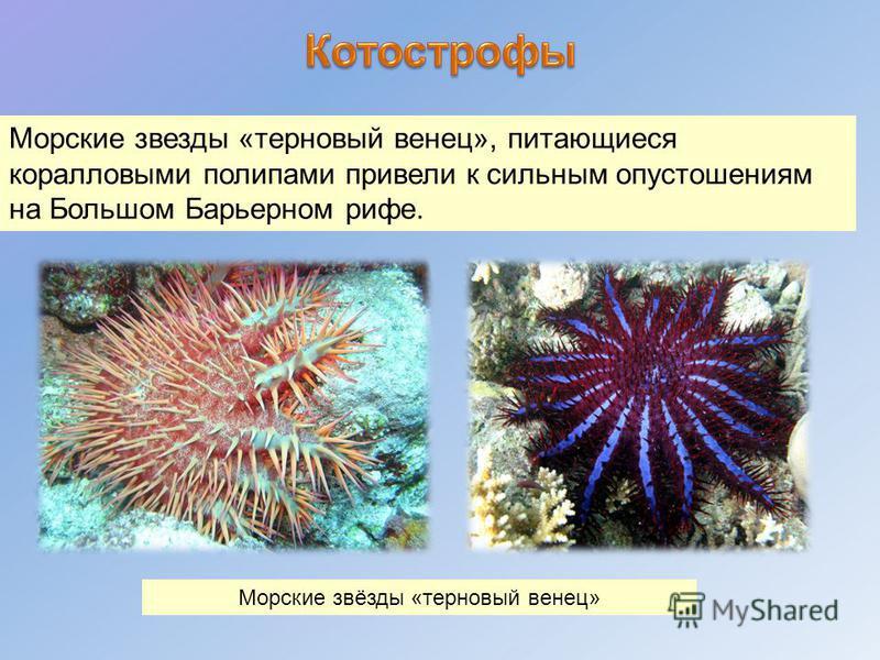 Морские звезды «терновый венец», питающиеся коралловыми полипами привели к сильным опустошениям на Большом Барьерном рифе. Морские звёзды «терновый венец»